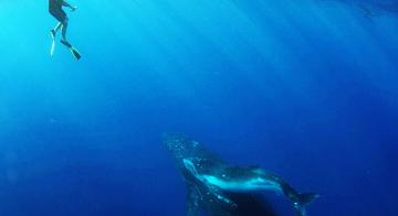 Swimming with Whales in Moorea