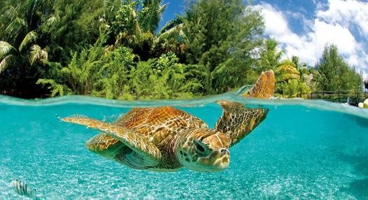 baby turtle swimming in the lagoon