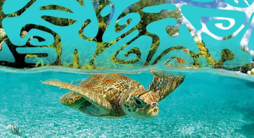 turtle swimming in the lagoon of the islands of tahiti