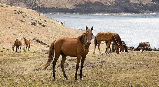 Horses in a valley of the marquesas Islands