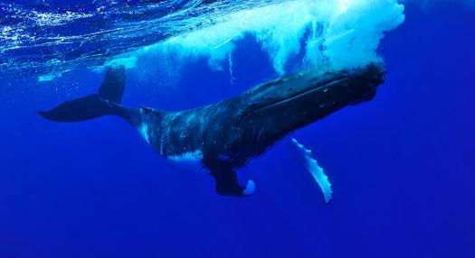 whales swimming in the marquesas islands sea